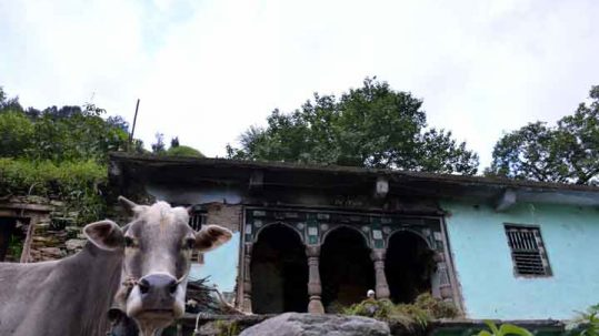 A cow looks on at a traditional Garhwali village house in Dunda
