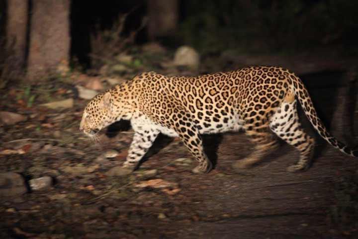 leopard-720